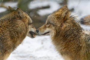 Two wolves, Cherokee story,